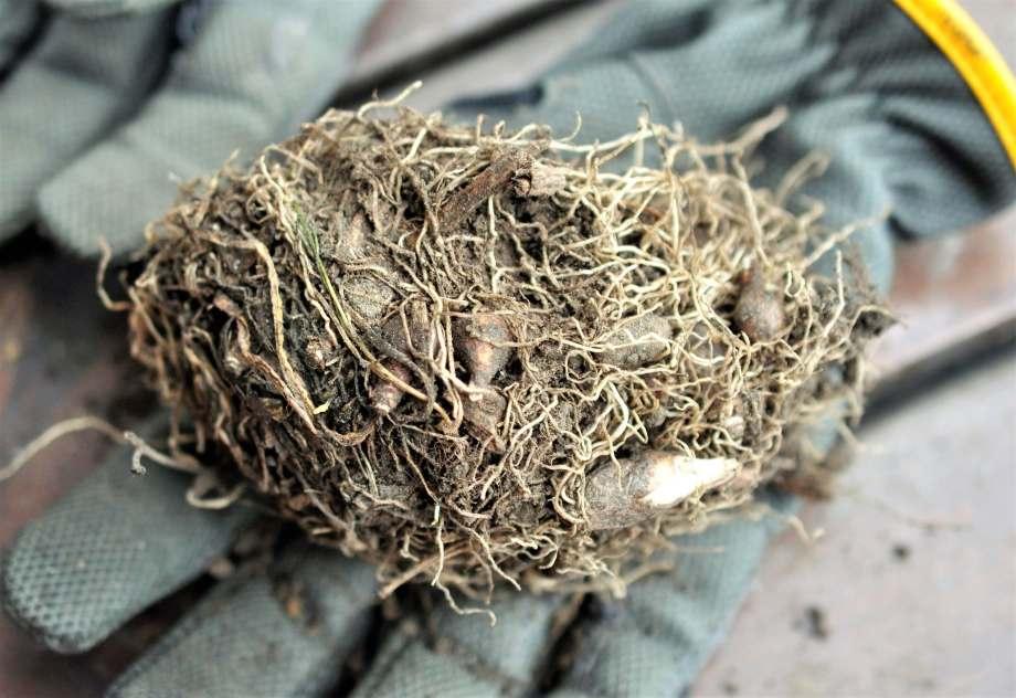 En jordklump full med snödroppslökar och -rötter ligger på en arbetshandske.