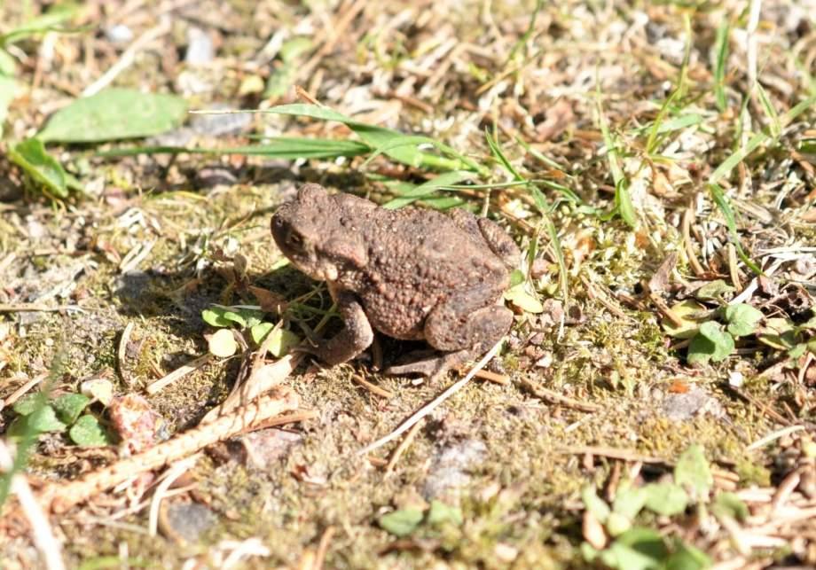 liten vanlig padda sitter i solen på en skogsväg