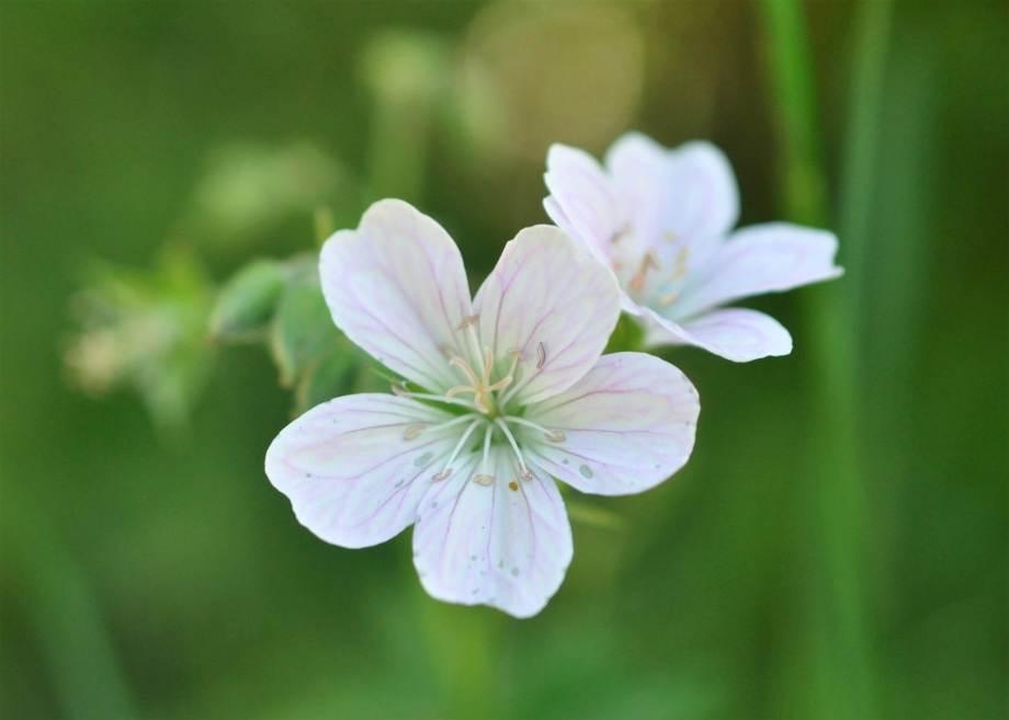 närbild på två blommor av en vit midsommarblomster