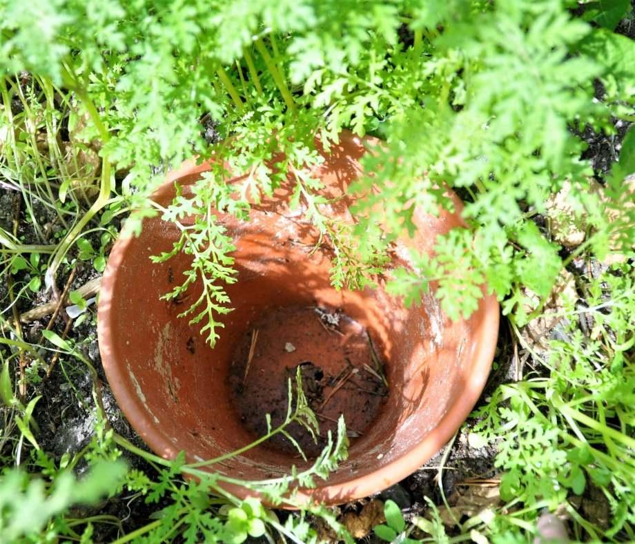 Lerkruka nedsänkt i jorden och omgiven av honungsfacelia.