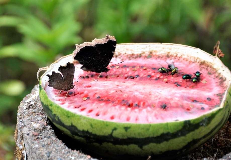 Sorgmantel, vinbärsfuks och gröna spyflugor på en halv vattenmelon.