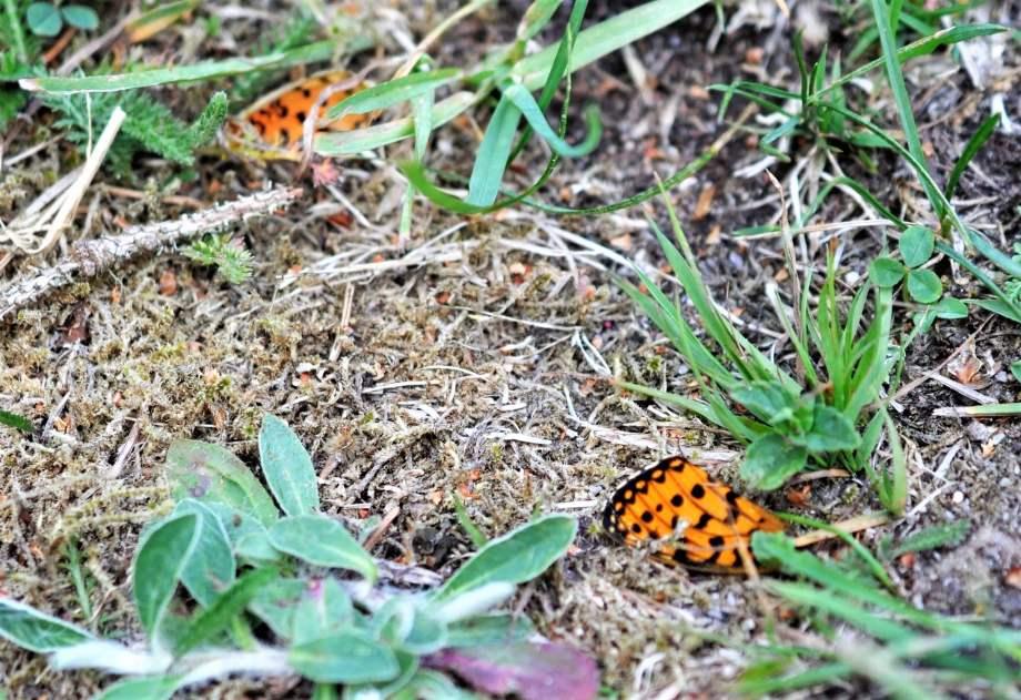 två avbitna fjärilsvingar på marken