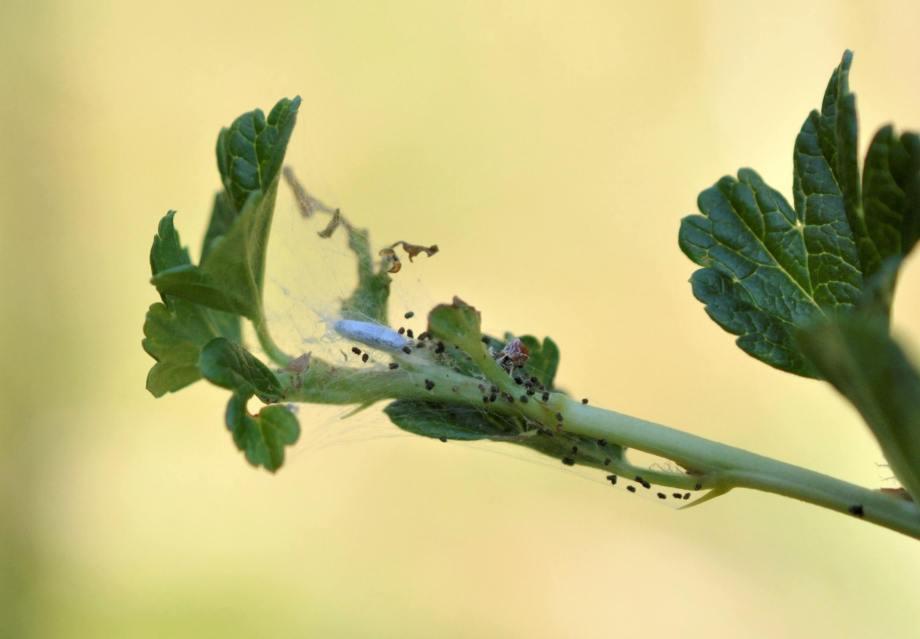 kokong och larvspillning i toppen av ett krusbärsskott