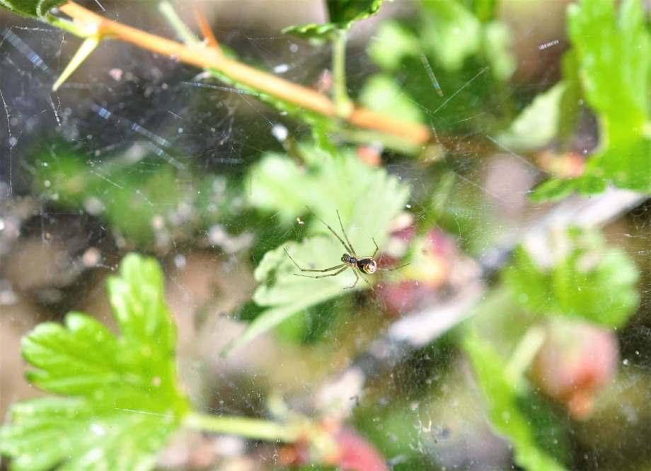 undersidan av en liten spindel i sitt nät i en krusbärsbuske