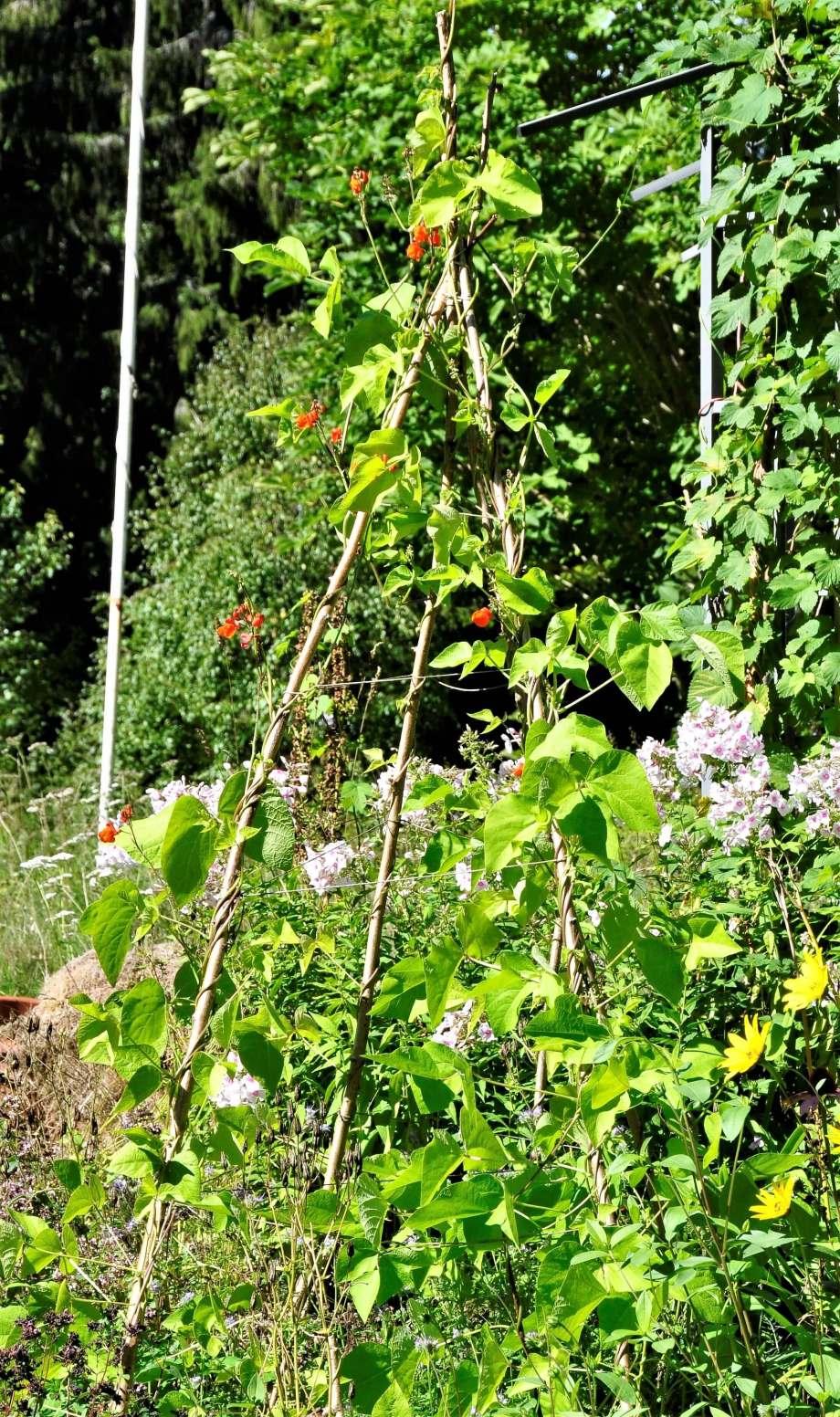 rosenbönor slingrar sig runt sitt klätterstöd som är gjort av gamla grenar
