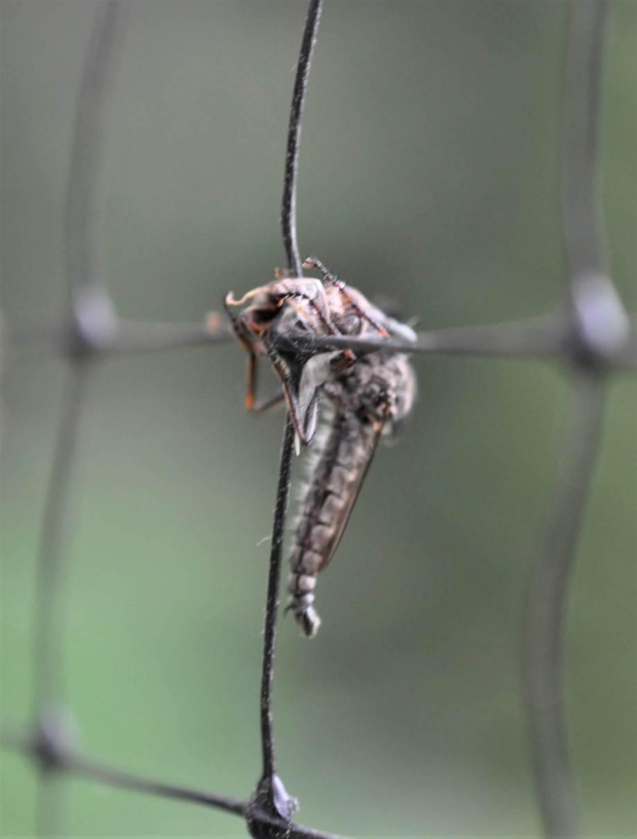 närbild på rovfluga med byte som sitter på rådjursnät