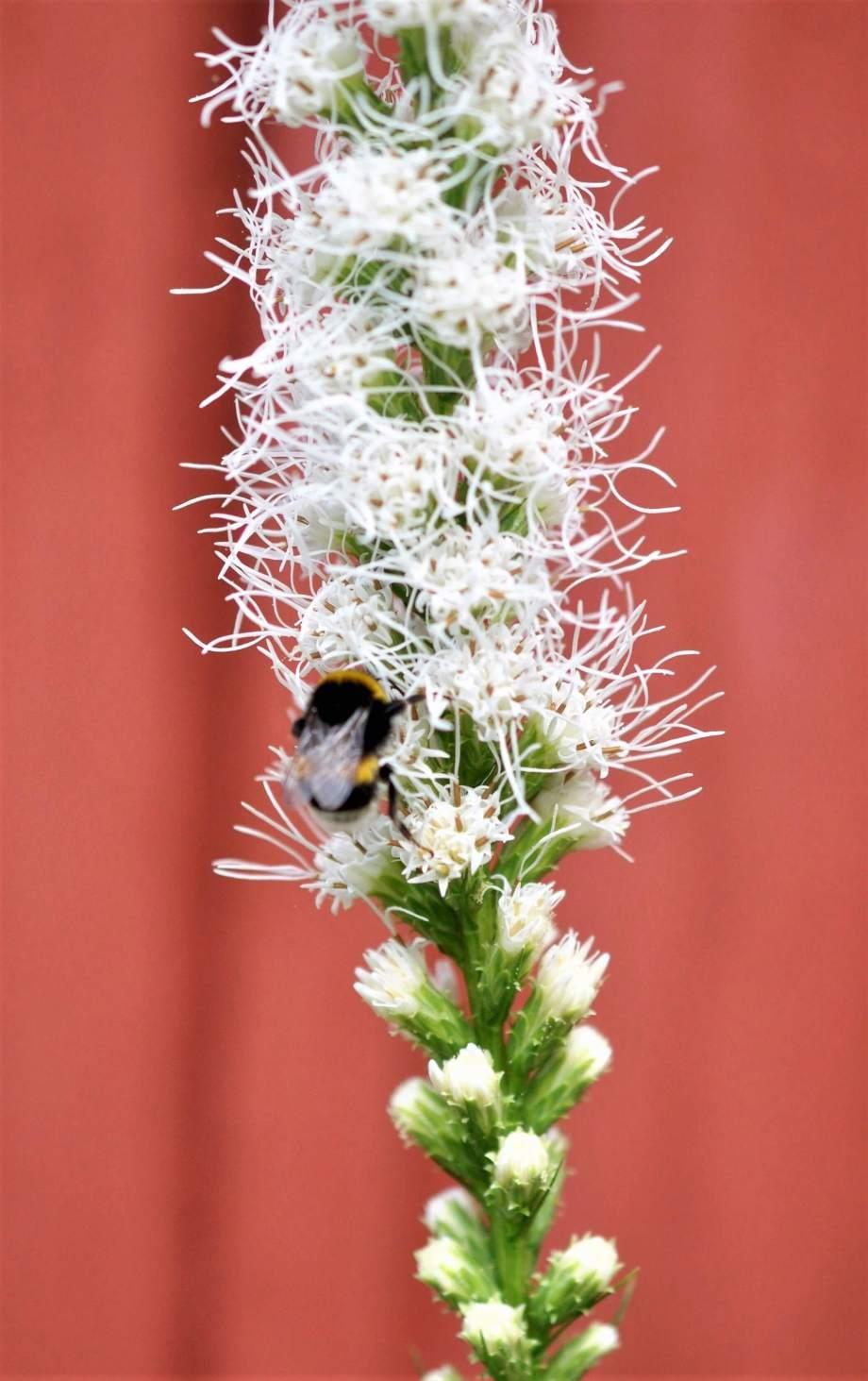 närbild på humla som samlar pollen på vit rosenstav