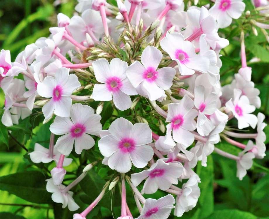 närbild på blommande höstflox vit med rosa öga