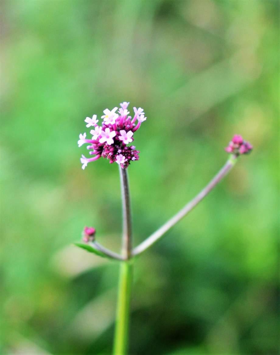 närbild på en delvis utslagen blomma av jätteverbena