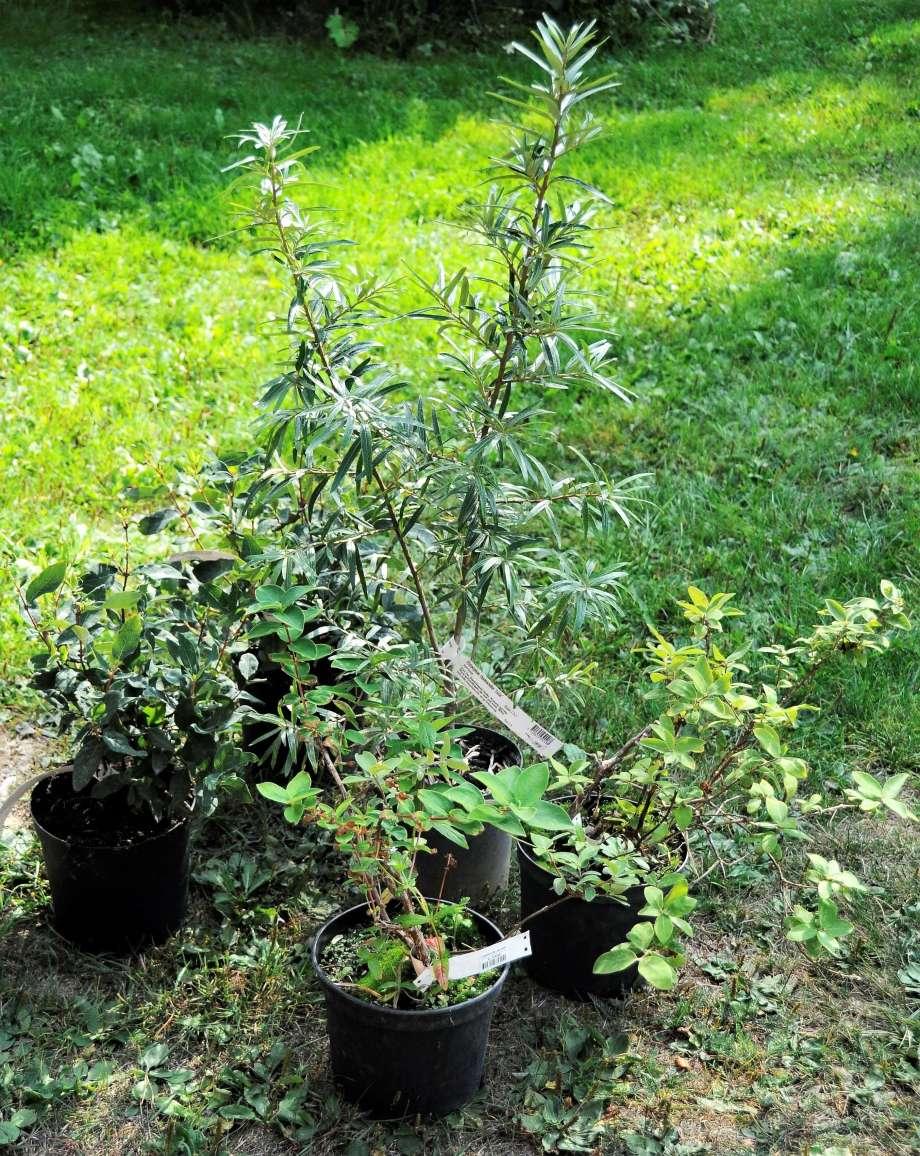 krukor med havtorn och blåbärstry samlade på gräsmattan