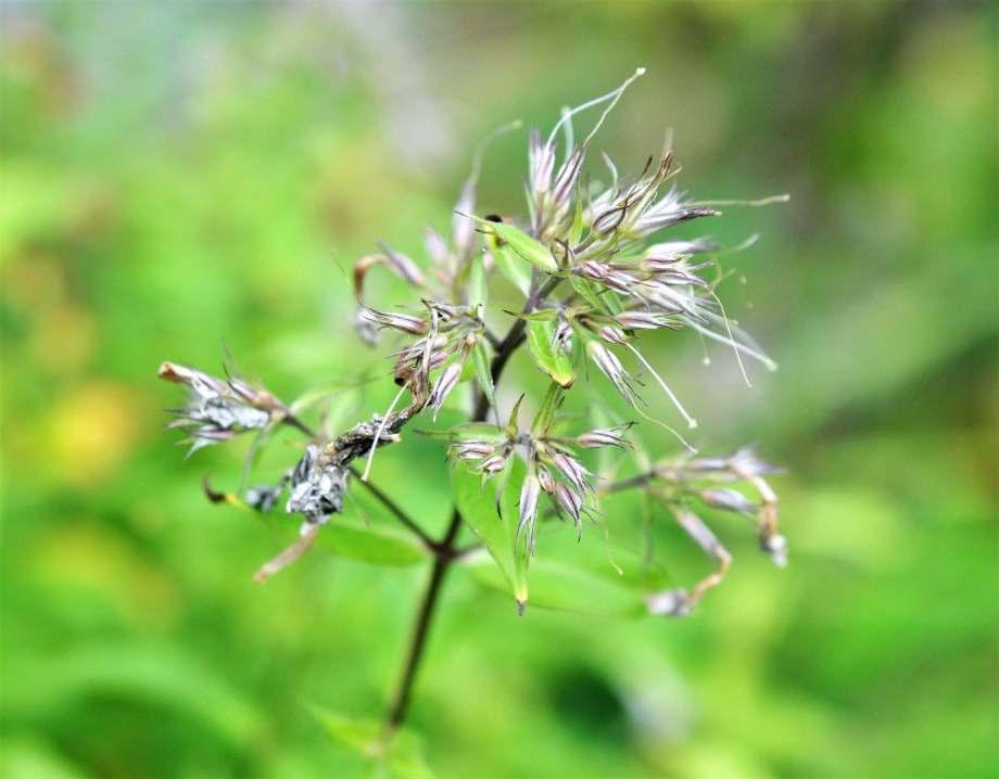 blomställningen på en överblommad höstflox