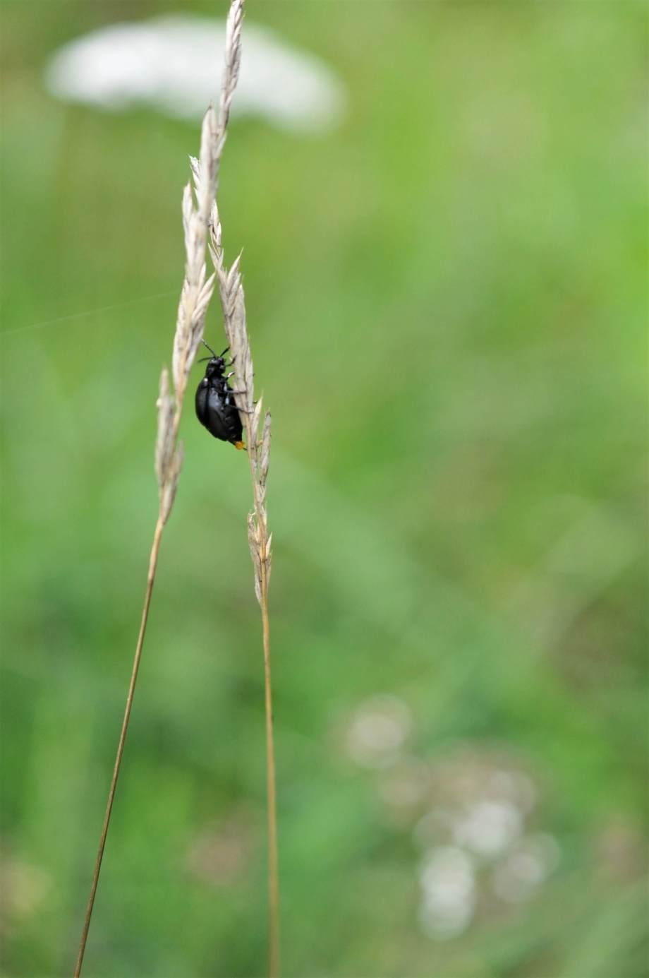renfanebagge på ett torrt grässtrå