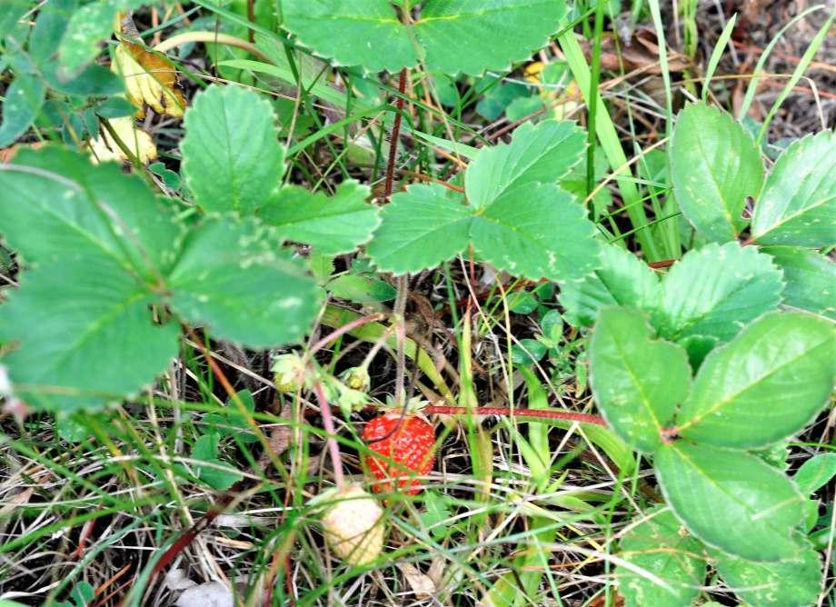 mogen och omogna jordgubbar i gräs