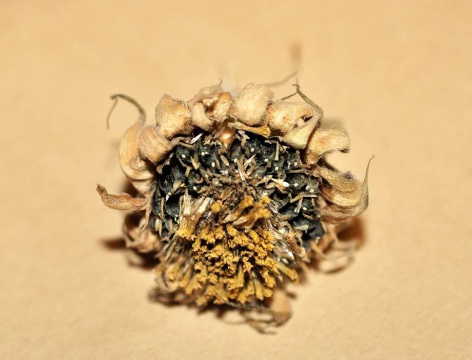 närbild på litet huvud av solros med frön och torra foderblad