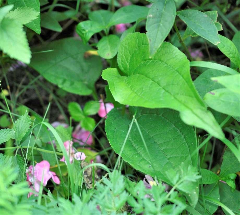 blad av vit solhatt i en rabatt omgiven av vissna rosa floxblommor