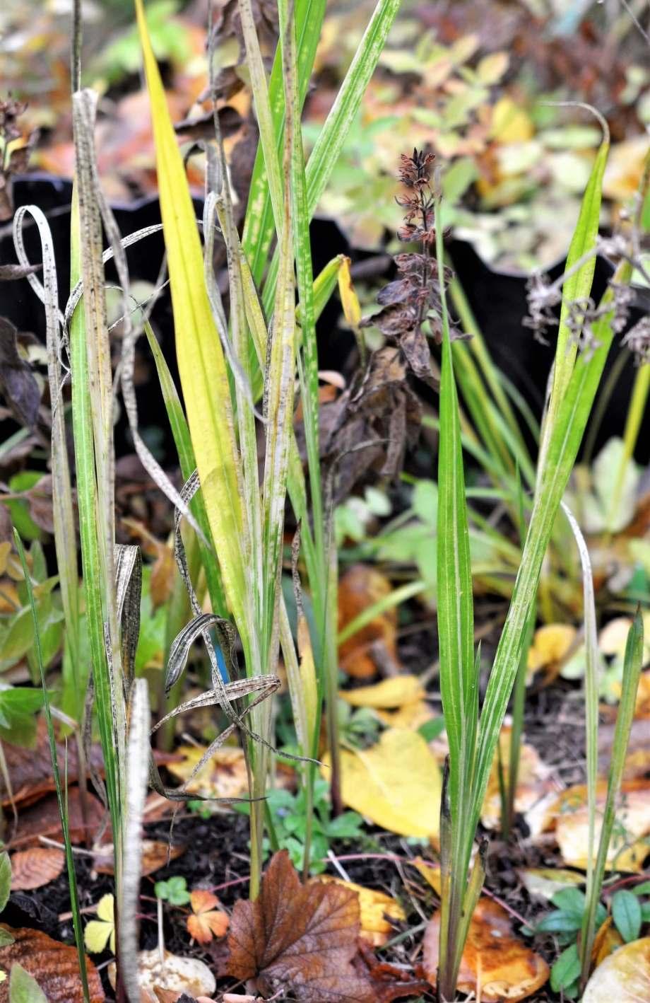 gulnande blad av doftliljor ibland höstlöv