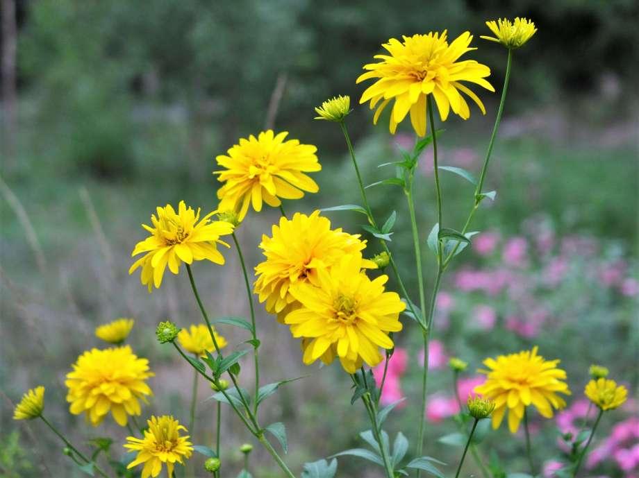 gullbollen blommar med många blommor