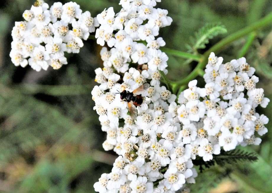 hona av parasitfluga på blommande röllika