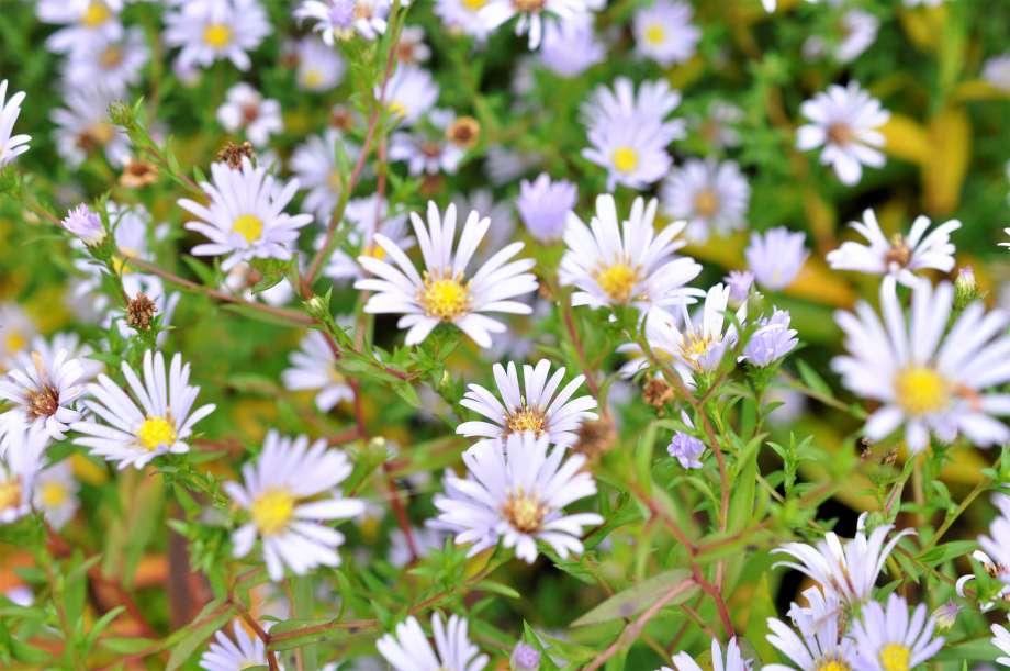 närbild på blommande höstaster