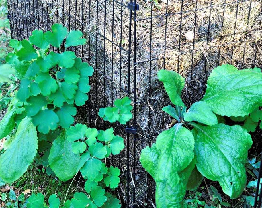 gallerkompost med växter som slagit rot i gräsklippet. Fingerborgsblommor och acklejor.