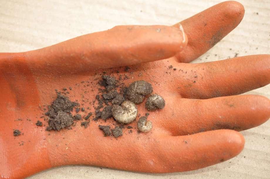 fyra guldbaggelarver i olika storlekar ligger i handflatan på en orange gummihandske