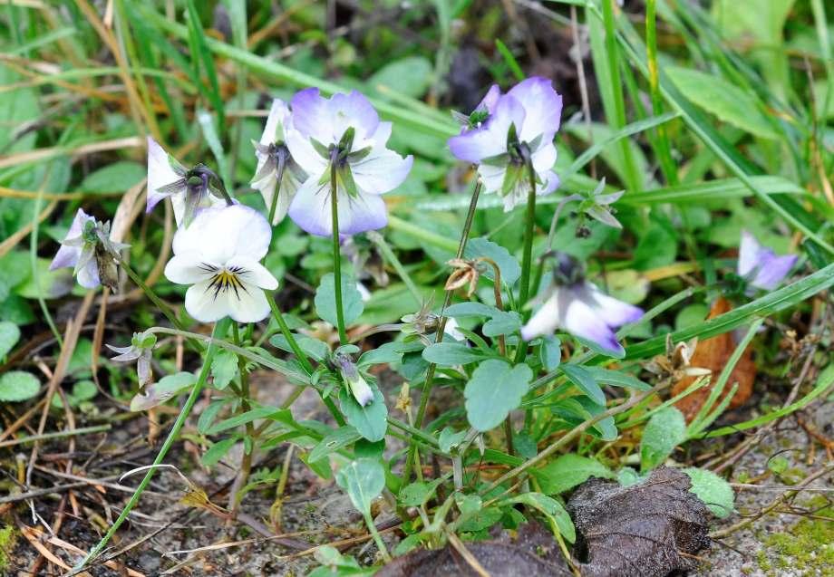 Viol med blommor, frön och vissna blommor. Violerna är vita med ljuslila kanter, svarta streck in mot ögat.