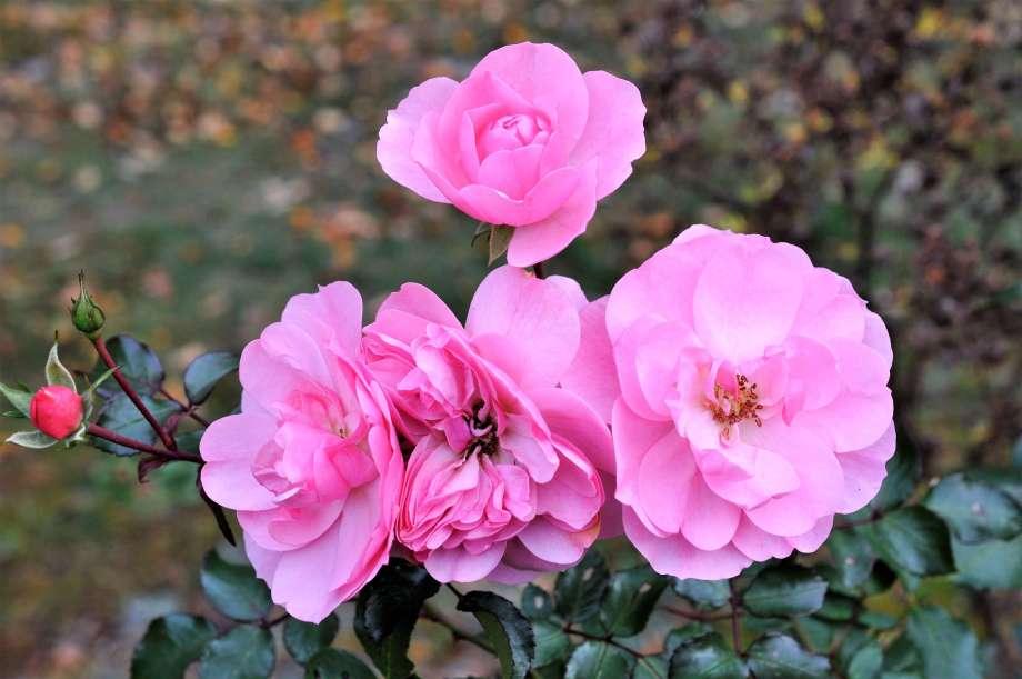 rosa rosor med mörkgrönt bladverk
