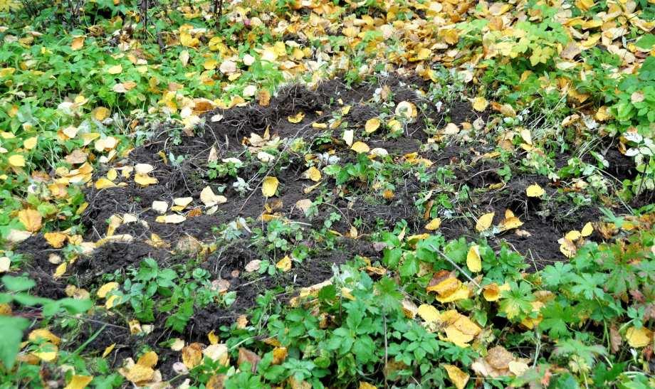 uppbökad jord med gula höstlöv