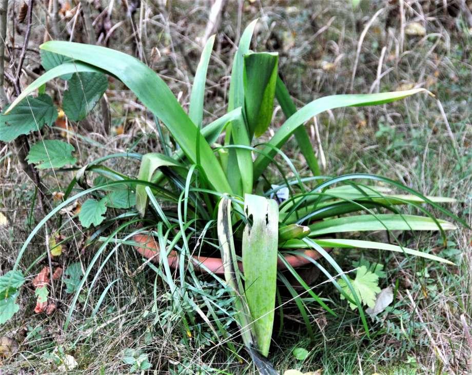en frodig, men snigeläten, afrikas lilja i en blomkruka utomhus