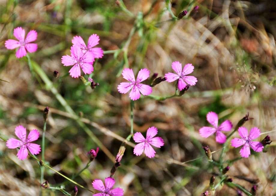närbild på blommande rosa backnejlika