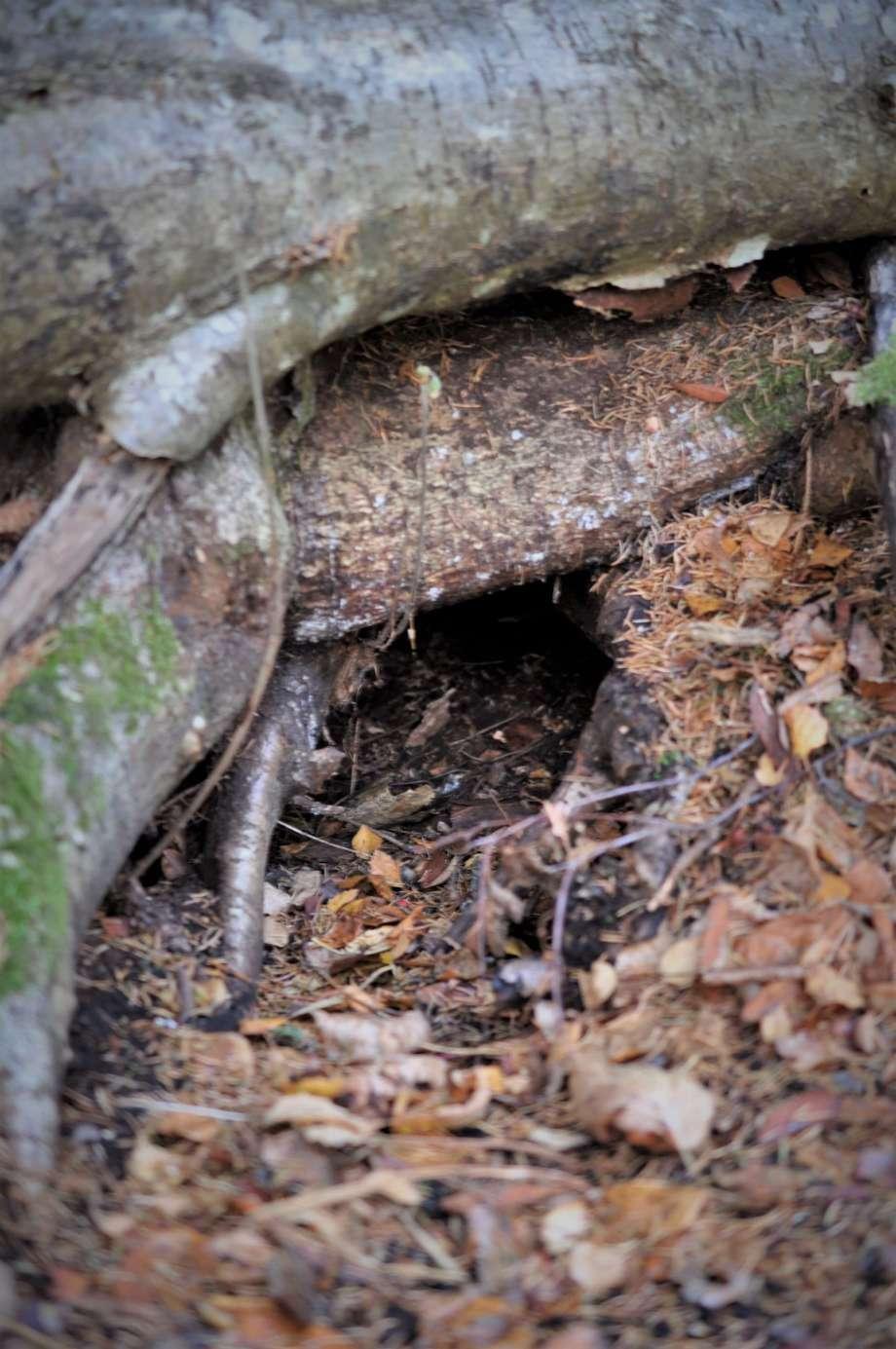 ingången till en djurlya under trädrötter
