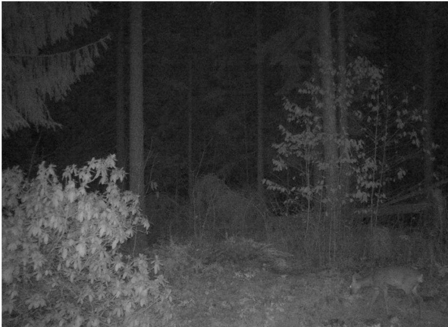 betande rådjur i nattmörker