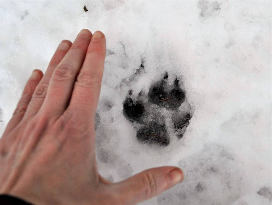 rävspår i snön med min hand brevid som storleksjämförelse