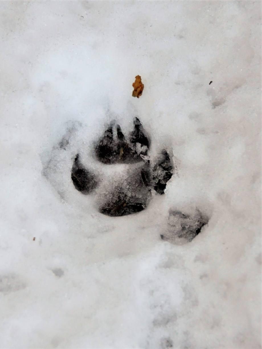 rävtass har lämnat spår i snön