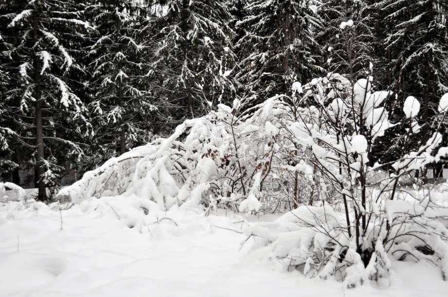 hassel med grenarna nedtyngda av snö