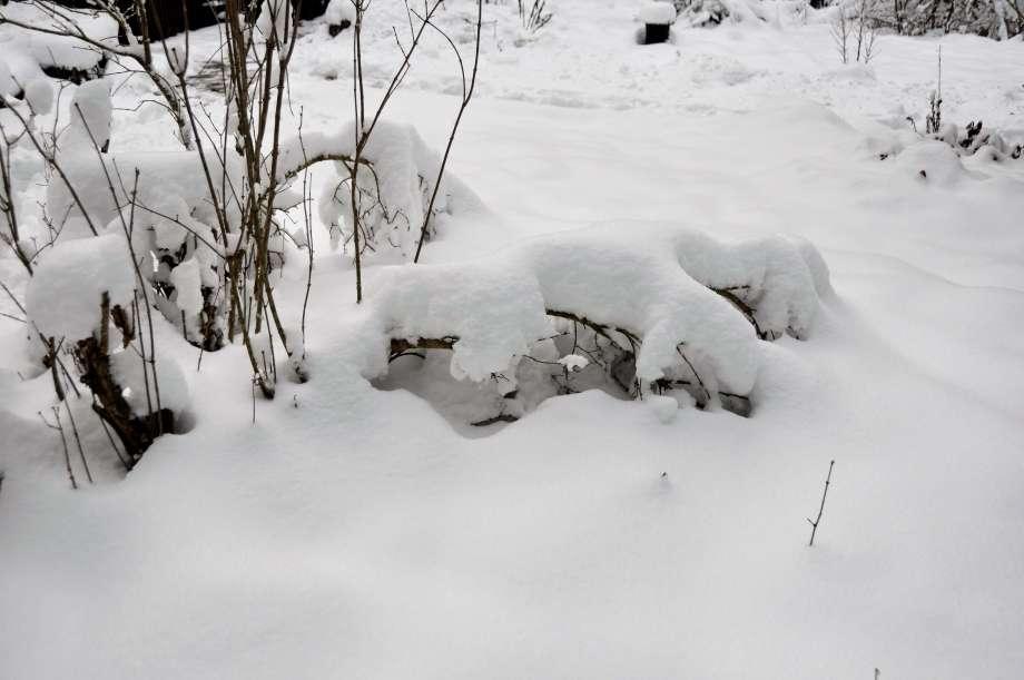 syrenbuskage helt nedtyngt av snö