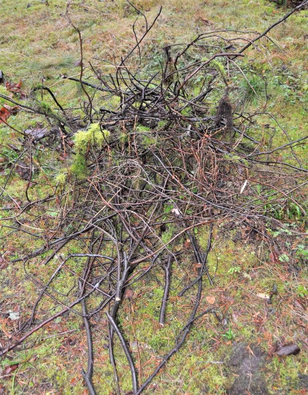 avklippta grenar av vinbär ligger i en hög på marken