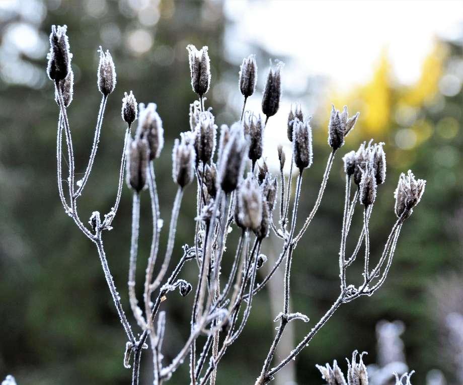 fröställningar av akleja täckta av rimfrost