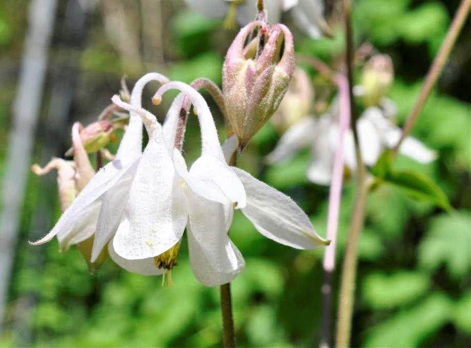 blommande vit akleja