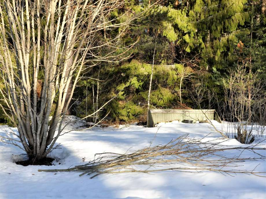 framför hästkastanjen ligger flera avsågade grenar på snötäcket