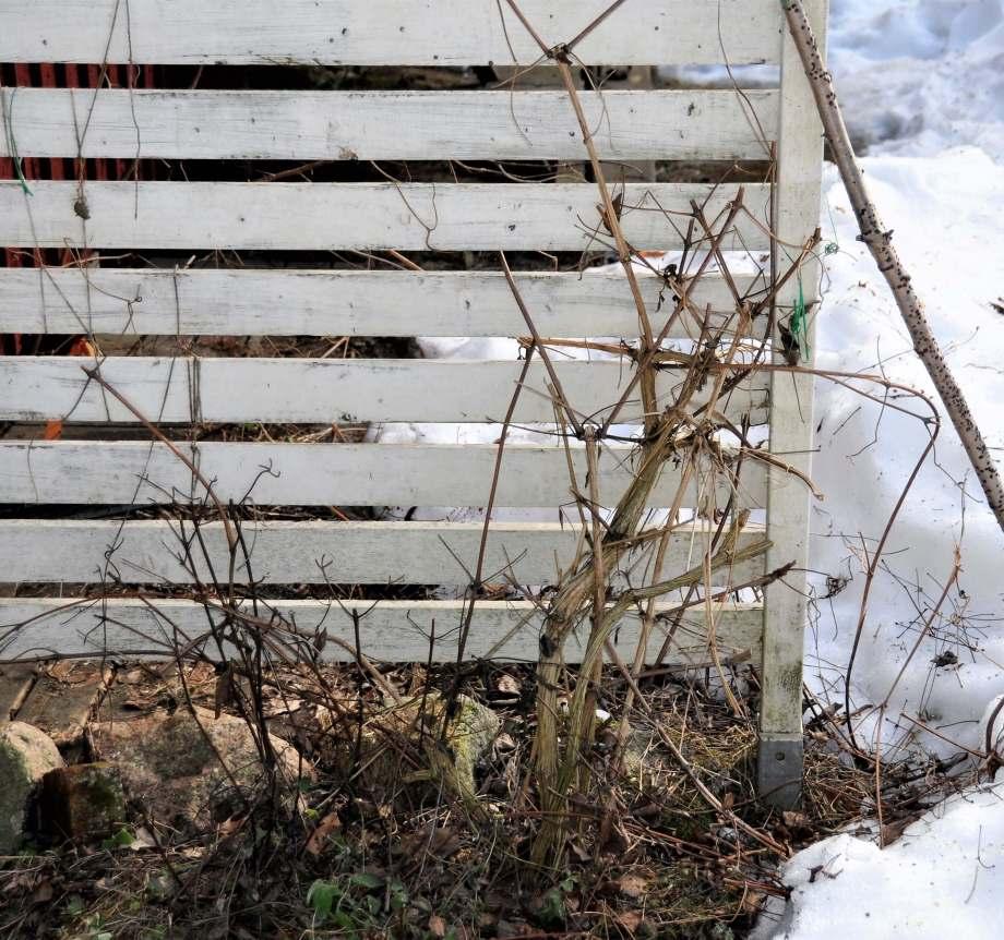 beskurna klematis vid staketet, snö i bakgrunden