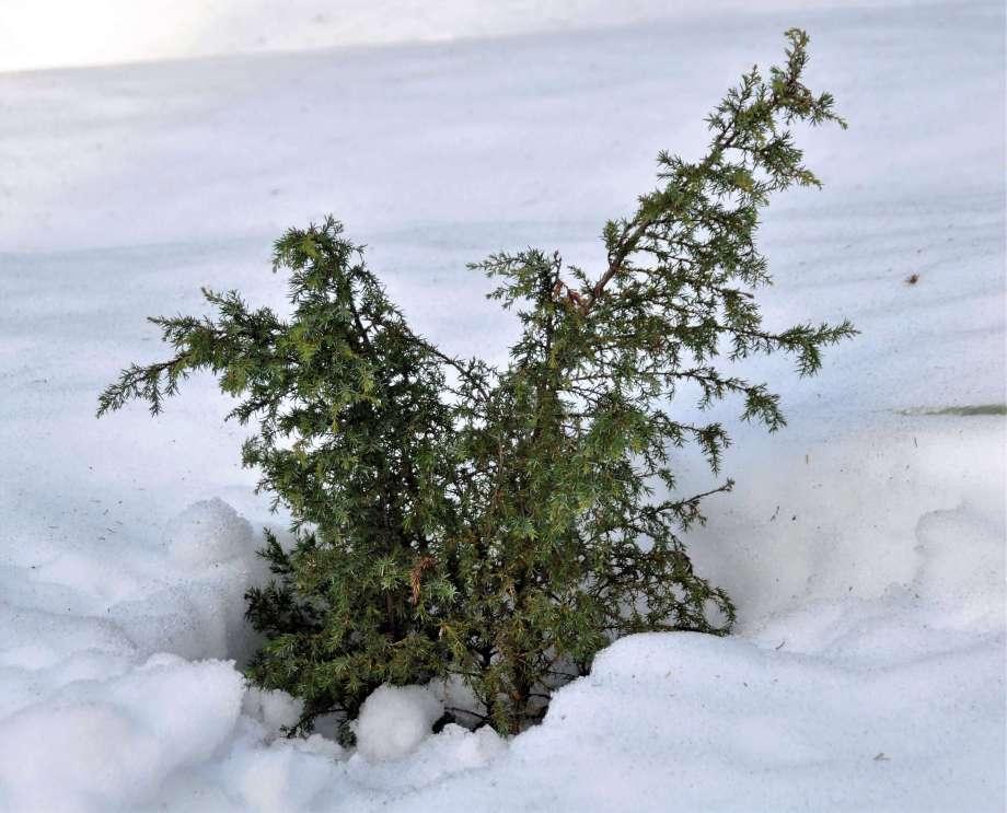 enbusken sticker upp ur snötäcket