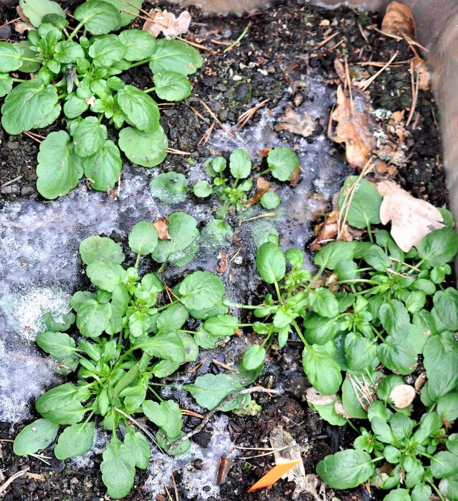 penseer växer i istäckt jord - verkar trivas fint