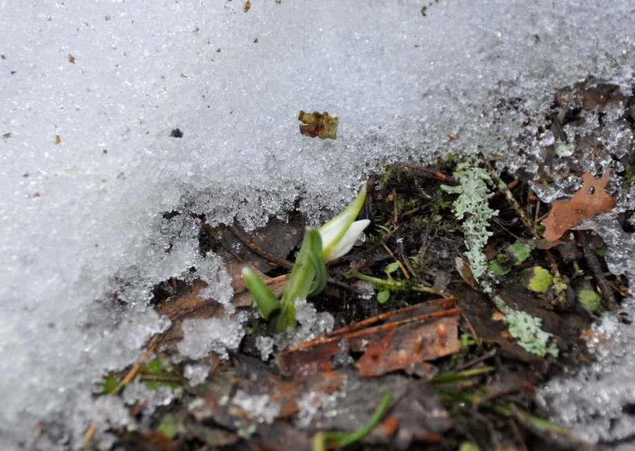 liten snödroppe börjar sticka upp genom snön