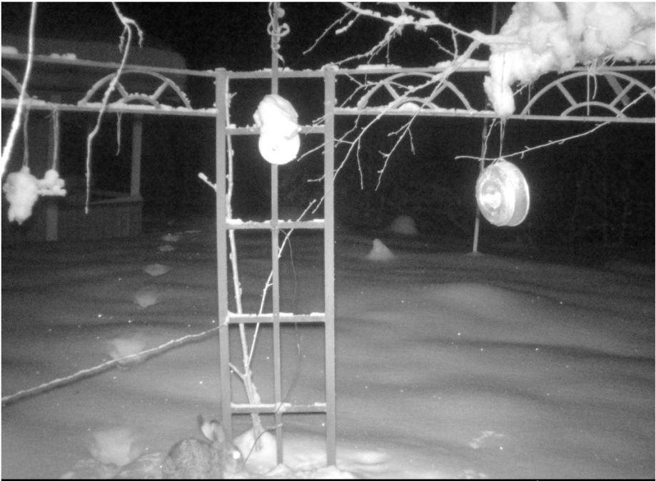 haren letar ätbart som fallit ner i snön under fågelmaten