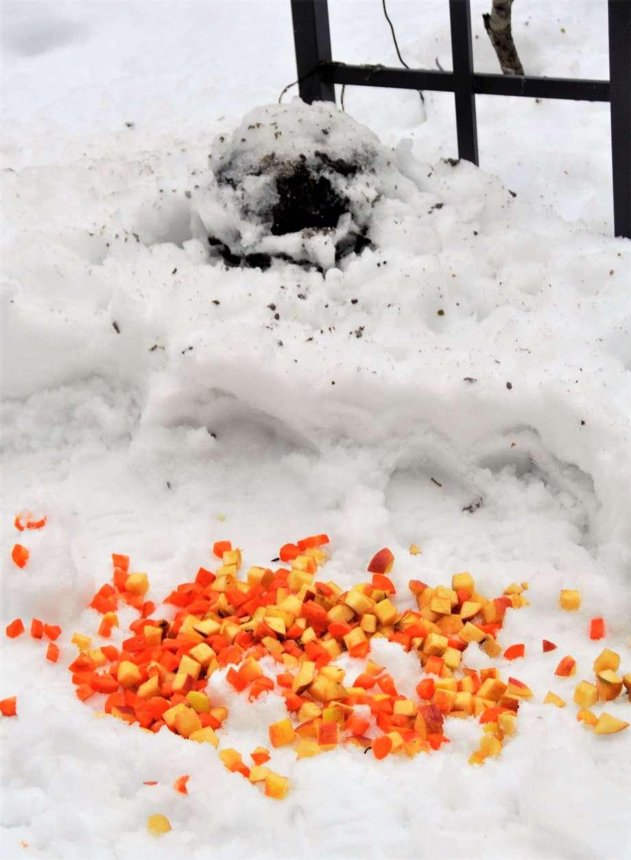 skurna bitar av äpple och morötter utlagd på tilltrampad snö under fågelmaten
