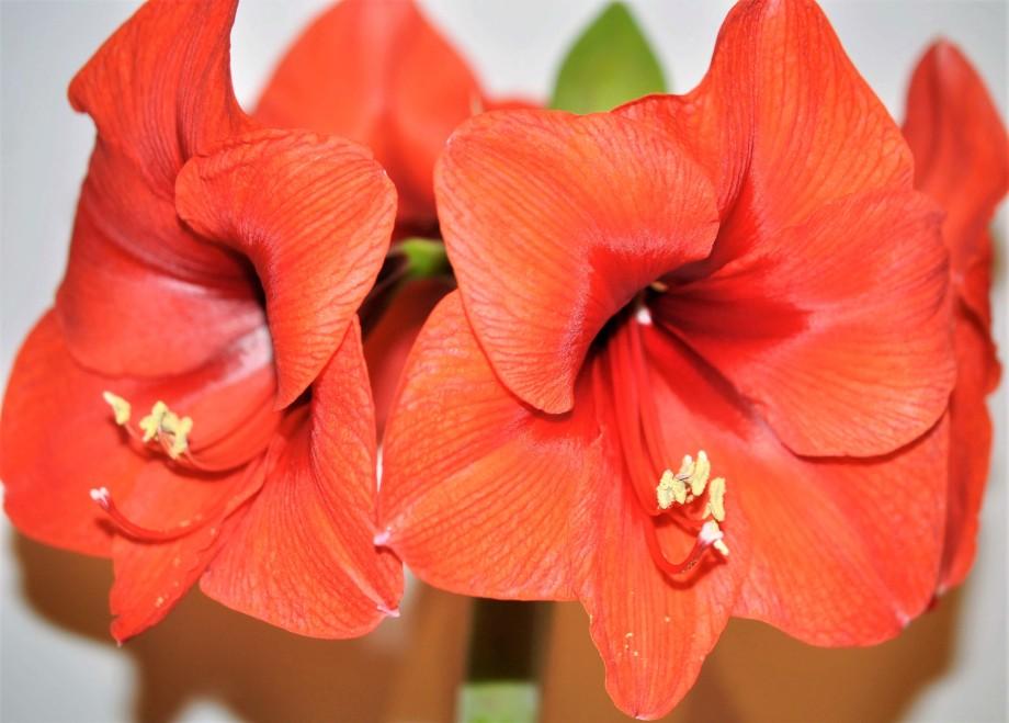 fyra lackröda amaryllisblommor