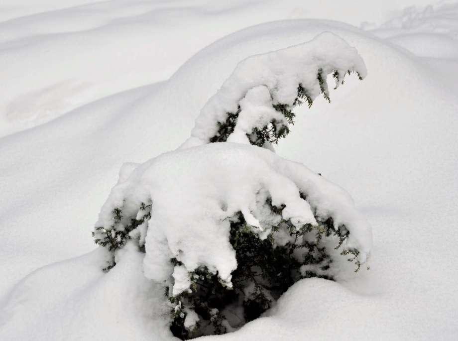 enbusken nedtyngd av snö