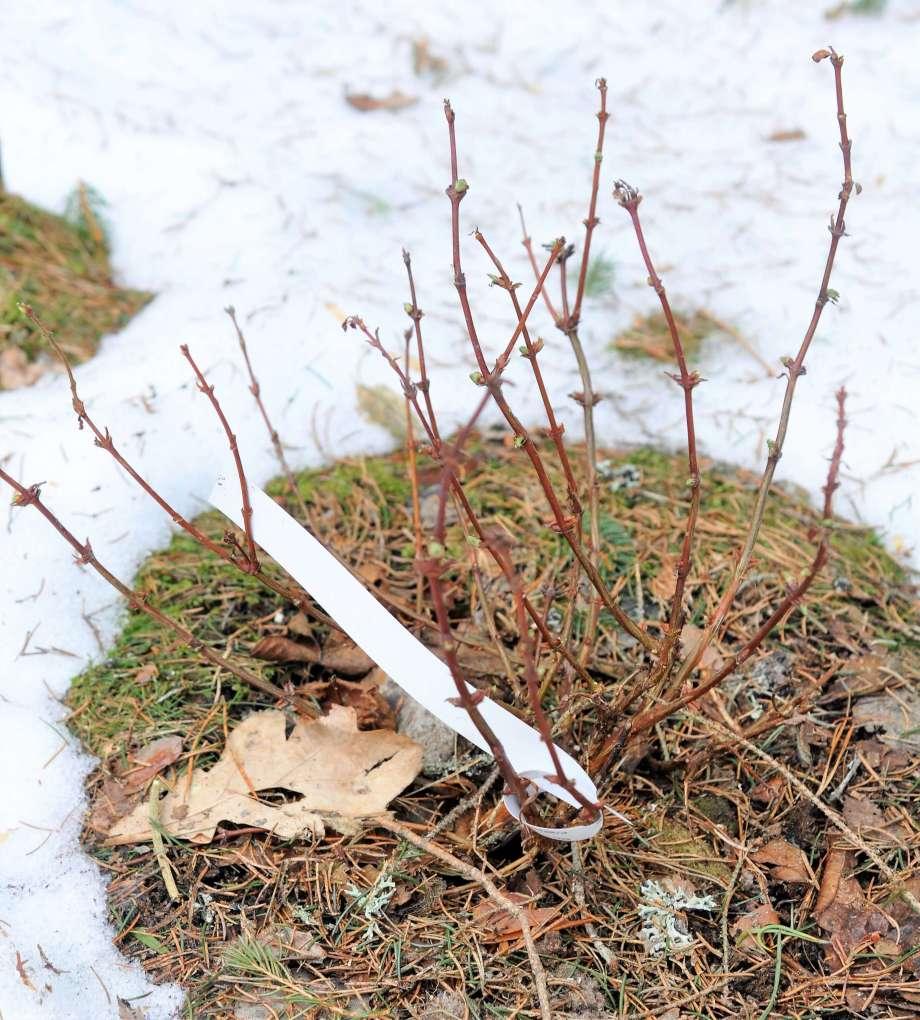 litet blåbärstry med stora bladknoppar mot snöbakgrund