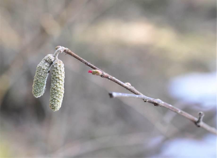 två omogna hasselhängen och en nyss utsprucken blomma